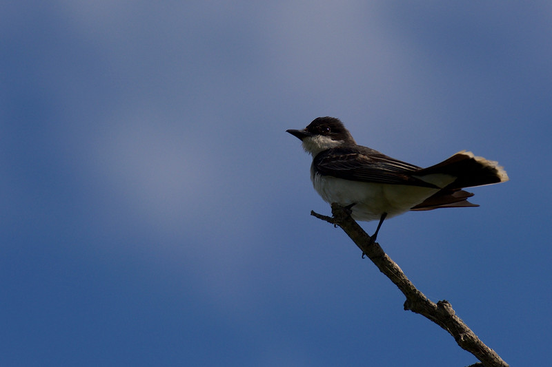 Eastern Kingbird ~ Tyrannus tyrannus ~ Huron River Watershed, Michigan
