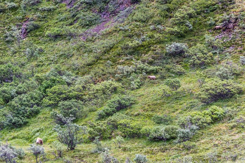 Bear Descending the Mountain