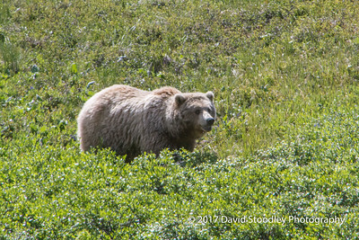 Grizzly Mom & Cubs (4 of 5)