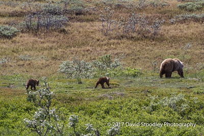 Grizzly Mom & Cubs (5 of 5)