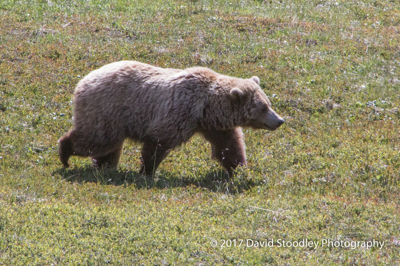 Grizzly Mom & Cubs (1 of 5)