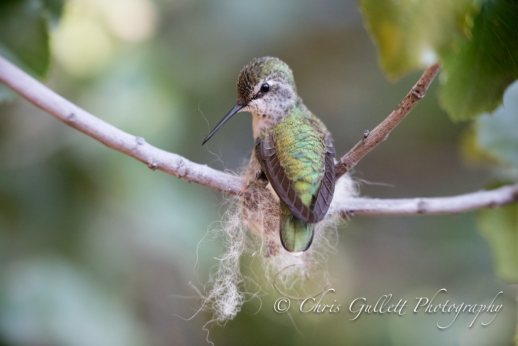 Busy Mother Hummer Building a Nest