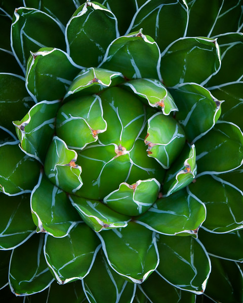 Queen Victoria agave