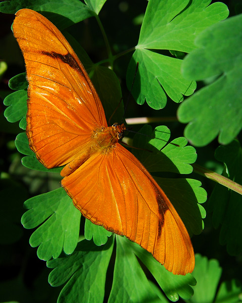 Julia Butterfly<br /> Dryas iulia