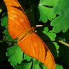 Julia Butterfly<br /> Dryas iulia