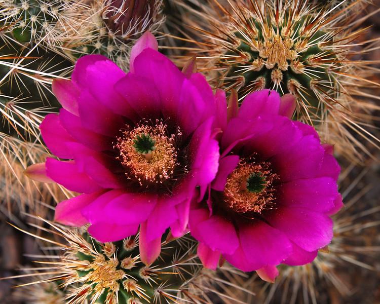 Engelmann's Hedgehog Cactus<br /> Echinocereus engelmannii