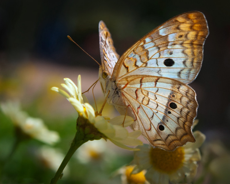 White Peacock Butterfly<br /> Anartia jatrophae