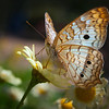 White Peacock Butterfly<br /> Anartia jatrophae