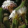Argentine Giant (Echinopsis candicans)<br /> Desert Botanical Garden
