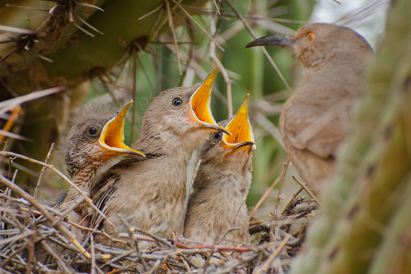 Cactus Wren Chicks