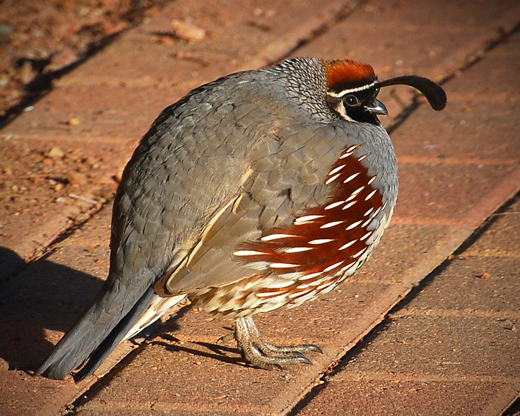 Gambel's Quail: Chilly Morning
