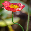 Iceland poppy- Papaver nudicaule