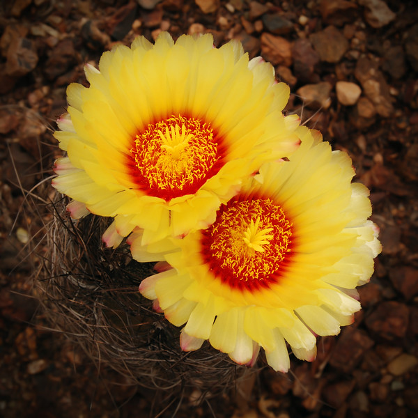 Goat's Horn Cactus<br /> Astrophytum capricorne