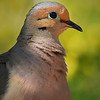 Arizona Dove