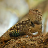 Desert Spiny Lizard <br /> Desert Botanical Garden