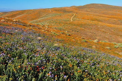 """Orange and Purple"" - Antelope Valley Poppy Reserve, Lancaster, CA"
