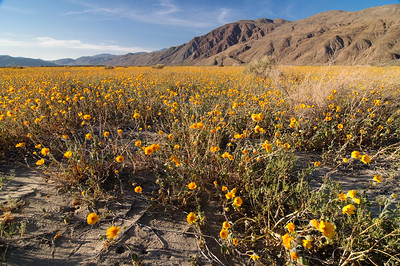 """Fields of Gold"" - Anza Borrego Desert State Park, CA"