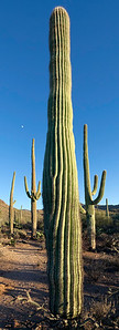 Giant Saguaro Cactus Vertical Panoramic