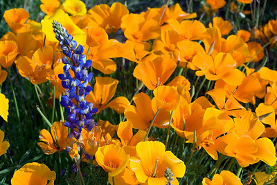 Mexican Poppies and Lupine, Arizona, USA, North America