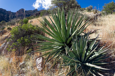 Agave palmeri, Chiricahua Mountains, Arizona