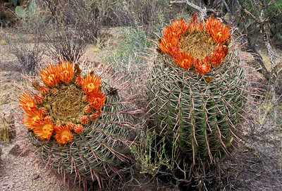 Blooming Fish Hook Barrel Cactus, Saguaro National Park West, Tucson, Arizona