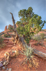 Juniper tree. Monument rock, Sedona Az.