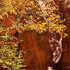 Sycamore tree in Autumn. Oak Creek Az.