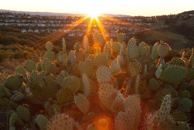 Prickly Pear Cactus with sunburst, Aliso Wood canyon.