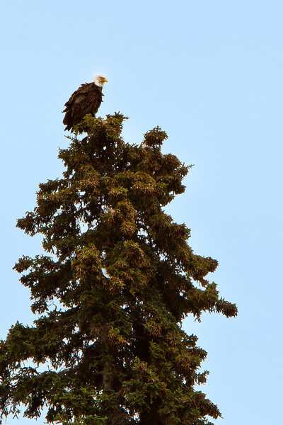 Bald eagle.  We all spotted this bird  on our jet boat excursion on the Talkeetna, Susitna, and Chulitna Rivers.<br /> July 5, 2010.