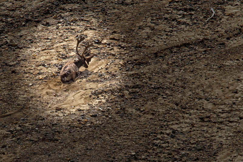 A lone caribou (Rangifer tarandus) is almost invisible as it rests in a riverbed.<br /> Denali National Park, AK.<br /> July 7, 2010.