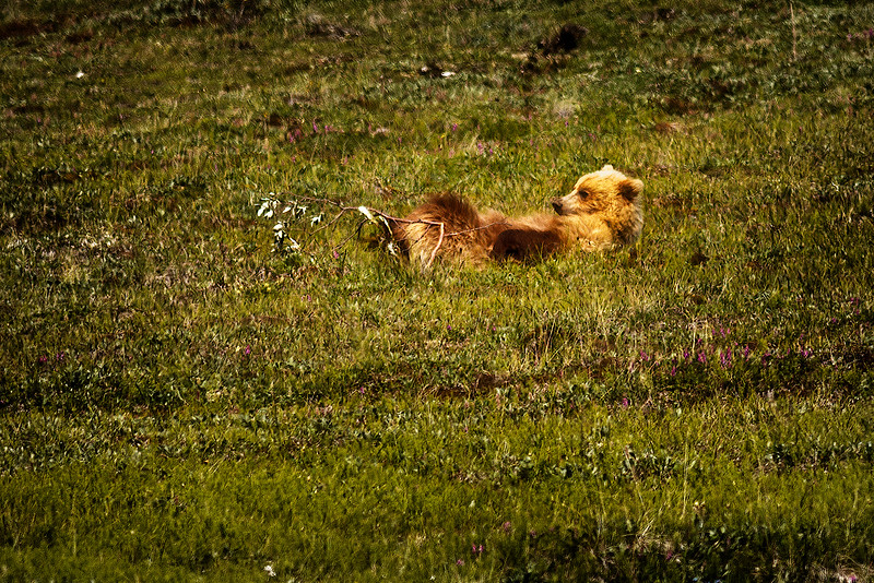 """Grizzly (brown) bear (Ursus arctos) resting on a mountain side in Denali National Park.  Our guide told us that the grizzlies in the park were light-colored, or """"blonde.""""<br /> July 7, 2010"""
