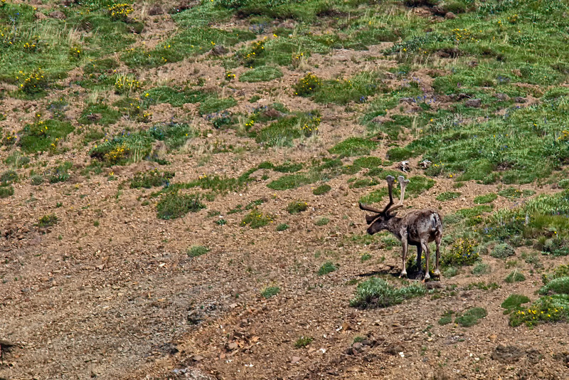 A caribou (Rangifer tarandus).  Our guide told us that during the summer male caribou are solitary travelers.<br /> Denali National Park.<br /> July 7, 2010.