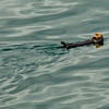 Sea otter swimming by our ship.<br /> Glacier Bay National Park, AK.<br /> July 12, 2010.