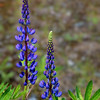 Arctic Lupine (Lupinus arcticus).<br /> On the grounds of the Mt. McKinley Princess Wilderness Lodge.<br /> July 5, 2010.