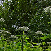 Cow Parsnip (Heracleum lanatum).  After we took this photo we learned that these plants can be very irritating to the skin, so we never got this close to them again.<br /> Alaska Native Heritage Center, Anchorage, AK.<br /> July 4, 2010.