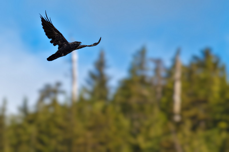 A raven flies overhead.<br /> Ketchikan, AK.<br /> July 15, 2010.