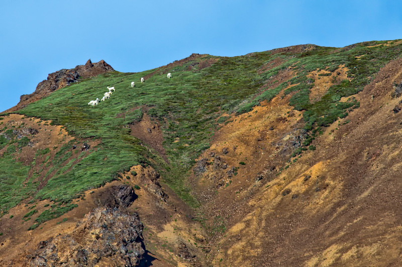 Dall sheep (Ovis dalli) on a mountainside.<br /> Denali National Park.<br /> July 7, 2010.