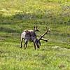 Caribou (Rangifer tarandus) grazing in the tundra grasses.<br /> Denali National Park, AK.<br /> July 7, 2010.