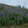Hillside of arctic lupines (Lupinus arcticus).<br /> On the grounds of the Mt. McKinley Princess Wilderness Lodge.<br /> July 5, 2010.