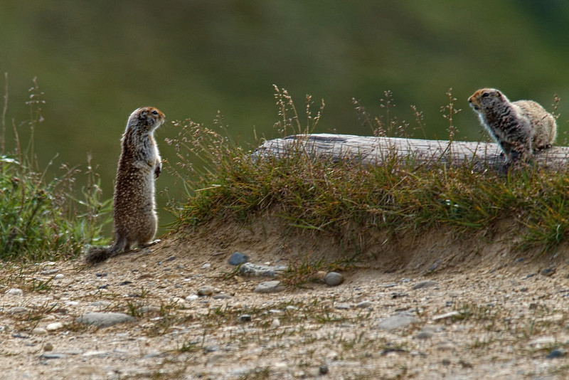 A pair of Arctic ground squirrels (Spermophilus parryii) in Denali National Park.  We saw a number of these little creatures, along with snowshoe hares (who did not hold still for the camera) on our ride through the park.  Both animals are very important food sources for predators.<br /> July 7, 2010