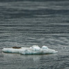 This looks like a Harbor Seal (aka, Leopard Seal), Phoca vitulina.<br /> Hubbard Glacier, Yukutat Bay.<br /> July 11, 2010.
