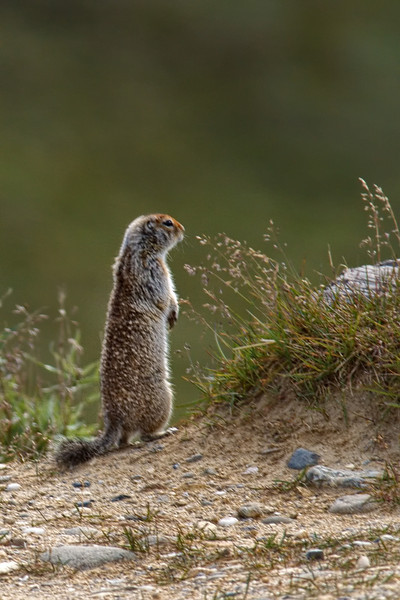 Arctic ground squirrel (Spermophilus parryii) surveys the landscape.  These animals hibernate more than half the year.<br /> Denali National Park, AK.<br /> July 7, 2010.