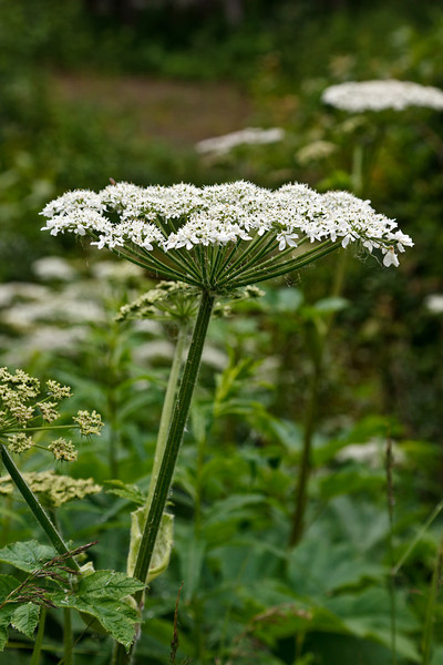 Cow Parsnip (Heracleum lanatum)<br /> Alaska Native Heritage Center, Anchorage, AK.<br /> July 4, 2010