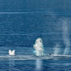 """Humpback whales """"blowing steam.""""<br /> Glacier Bay National Park.<br /> July 12, 2010."""