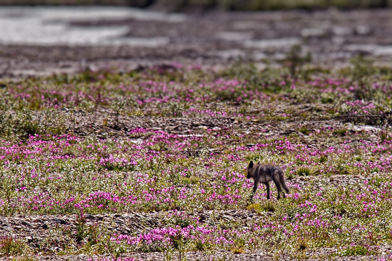 A young gray wolf (Canis lupus) crossing a field of pink wildflowers.<br /> Denali National Park, AK.<br /> July 7, 2010.