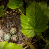 Bird eggs in a ground nest (possibly laid by a thrush?).<br /> Spotted on a nature walk before lunch on our jet boat river excursion.<br /> July 5, 2010.