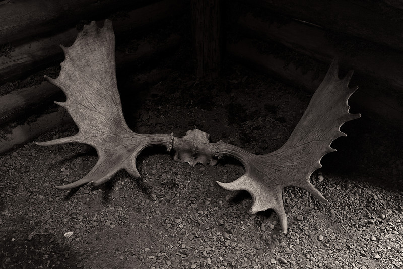 Moose antlers in the corner of the Athabaskan log cabin.<br /> Alaska Native Heritage Center, Anchorage, AK.<br /> July 4, 2010