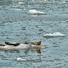Sea lions rest on an iceberg.<br /> Hubbard Glacier in Yukutat Bay.<br /> July 11, 2010.