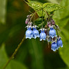 Bluebells (Mertensia paniculata)<br /> Alaska Native Heritage Center, Anchorage, AK.<br /> July 4, 2010