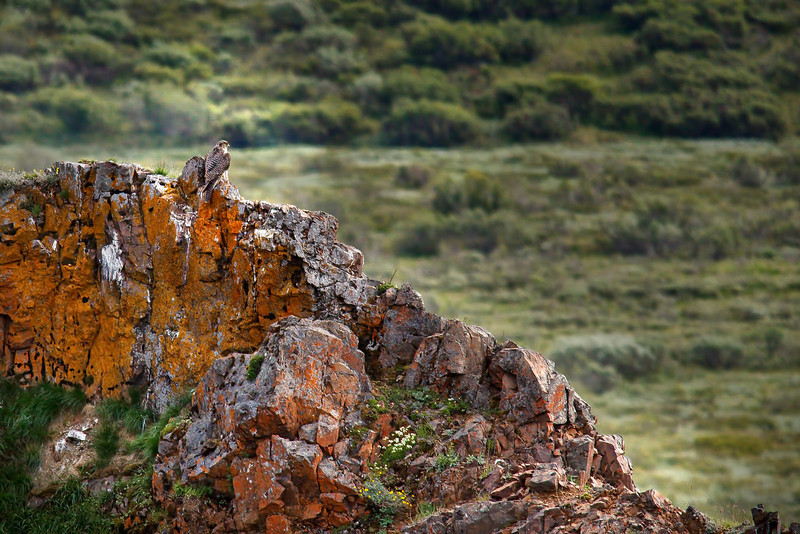 Falcon (possibly a gyrfalcon, Falco rusticolus) surveying the landscape from the top of a rocky ridge (orange color due to iron content in rock).<br /> Denali National Park<br /> July 7, 2010